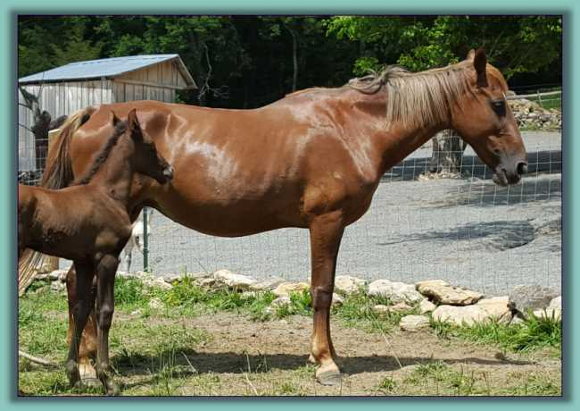 Diamond, Tennessee Walking Mare up for adoption