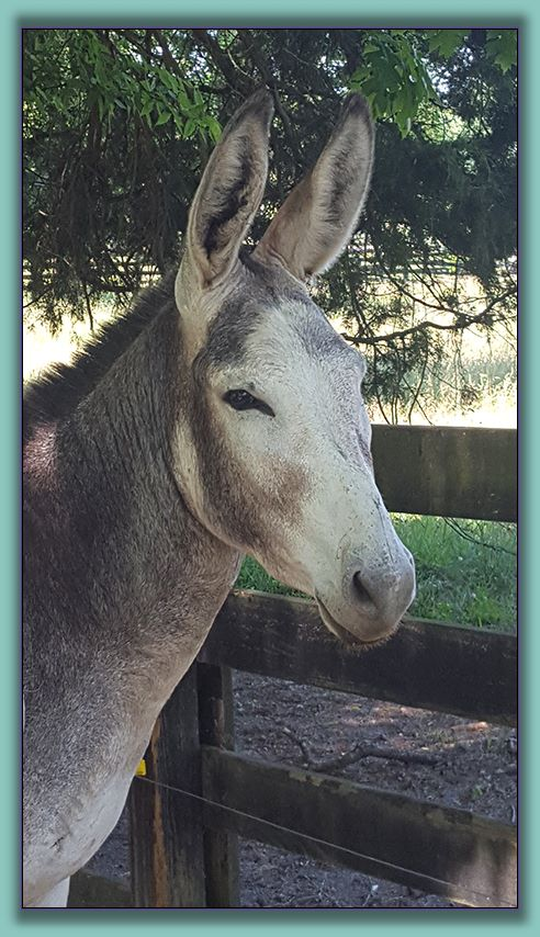 Earl, large standard donkey up for adoption!