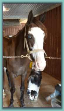 Gypsy, Tennesseee Walking Horse for adoption!