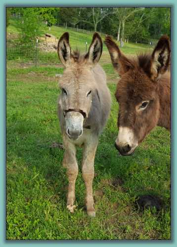 Hee Haw, standard donkey up for adoption