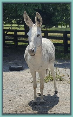 Pearl, standard donkey in foal up for adoption!